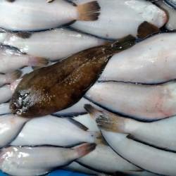 Calamar grande